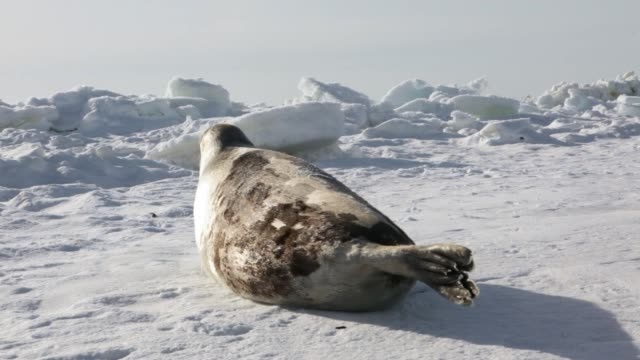 Mother Cute Newborn Seal Pup On Ice fields. video