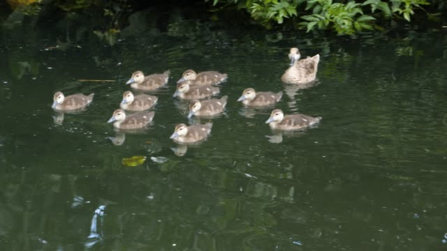 Mother duck swimming with ducklings in a pond video