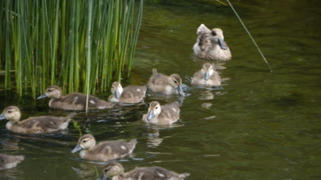 Mother duck with ducklings video