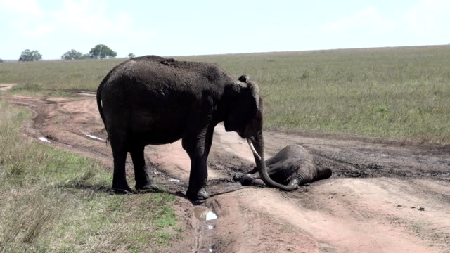 A Mother Elephant trys to help her baby out of a mudhole video