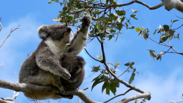 mother feeding and a baby koala looking at the camera at cape otway