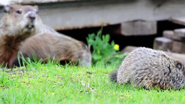 Mother groundhog looks over two young kits in grass before they run under deck Young Groundhogs, Marmota monax, eating grass near shed in spring groundhog day stock videos & royalty-free footage