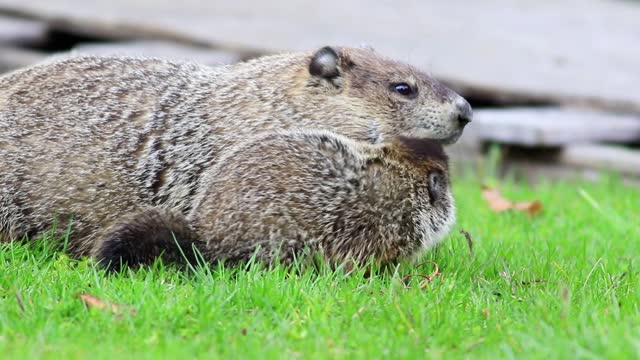 Mother groundhog steals carrot from young groundhog and snaps they both turn to front Young Groundhogs, Marmota monax, eating grass near shed in spring groundhog day stock videos & royalty-free footage