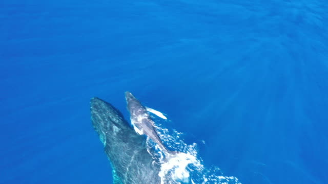 vidéos et rushes de baleine et veau à bosse de mère au large de la côte de maui, hawaï - veau