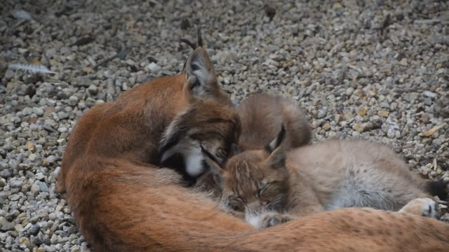 Mother lynx feeding two kittens close up