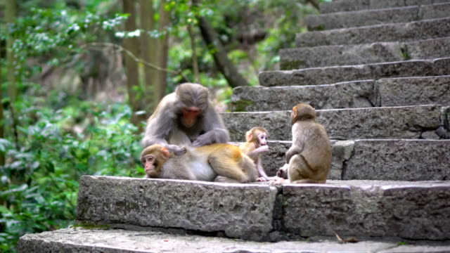 Mother Monkey finding bugs for her children video