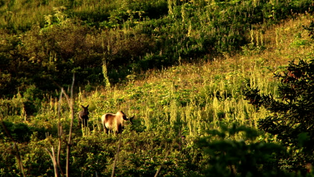 mother moose and baby walk through hillside video