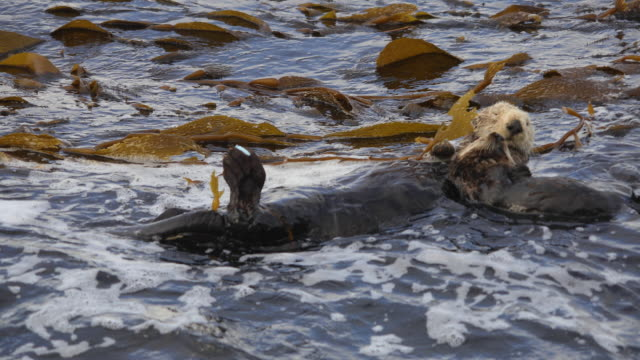 Mother Sea otter Holds Pup In Rough Surf A mother California sea otter grips her sleeping pup as waves roll through their kelp bed. kelp stock videos & royalty-free footage