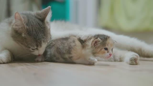 ライフ スタイル小さな子猫を抱いて母三色猫を取る最初のステップ。猫が子猫を舐めます。猫のスロー モーション ビデオを舐める子猫。小さなキティ猫コンセプト ペット - 子猫点の映像素材/bロール