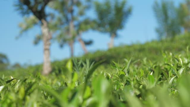 沿著種植園近景的茶灌木葉運動 - 枝 植物部分 個影片檔及 b 捲影像