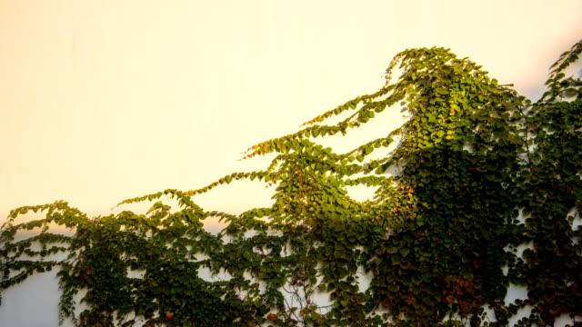 4k uhd 벽에 기 식물 그늘의 모션 - 아이비 스톡 비디오 및 b-롤 화면