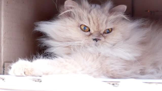 Bewegung der persischen Katze spielen mit Menschen in Box – Video