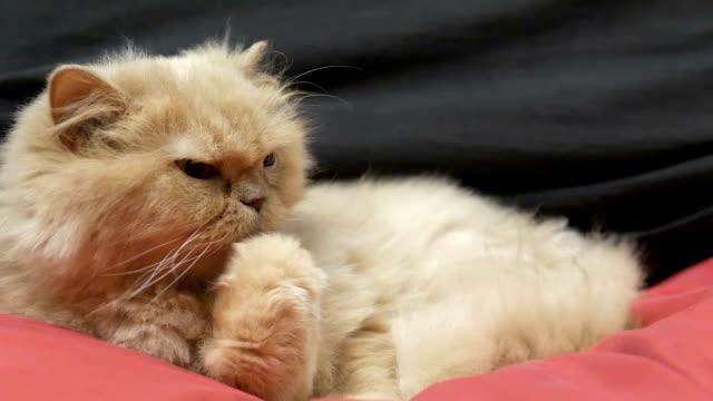 Bewegung der persischen Katze wärst und leckt Pfote – Video