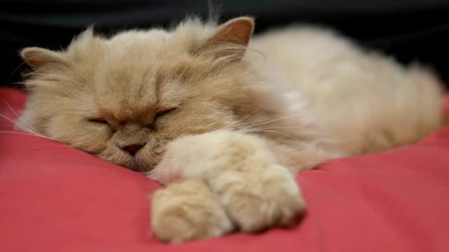 Bewegung der verschlafenen persperperen Katze auf dem Bett – Video