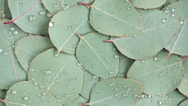 rörelse av texturen gjord av gröna eukalyptusblad med regndroppe, dagg, rotation. naturlig medicinsk växt. ekologisk kosmetika, alternativ medicin. ovanifrån. 4k uhd-video - eucalyptus leaves bildbanksvideor och videomaterial från bakom kulisserna