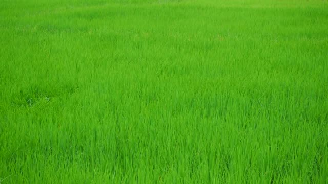 vídeos de stock e filmes b-roll de motion of young rice swaying with strong wind blowing and waves in green field - oscilar