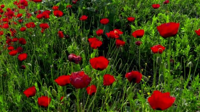 vídeos y material grabado en eventos de stock de movimiento a través de amapolas florales en una pradera de verano - flor silvestre