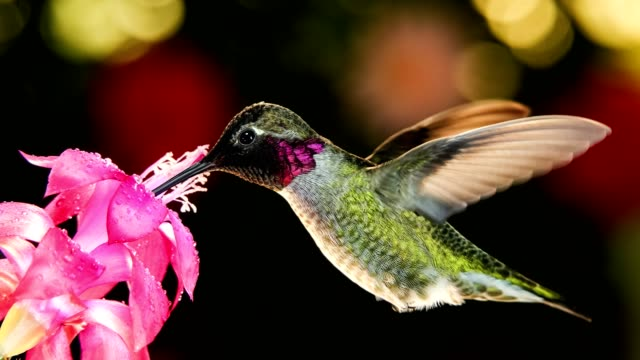 A motion time lapse footage of hummingbird visiting pink flower with dew drops video