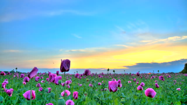 HD Motion Time-Lapse: Beautiful Cloudscape Over Poppy Field