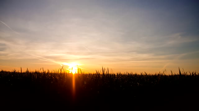HD-Motion: Campo de trigo en puesta de sol - vídeo