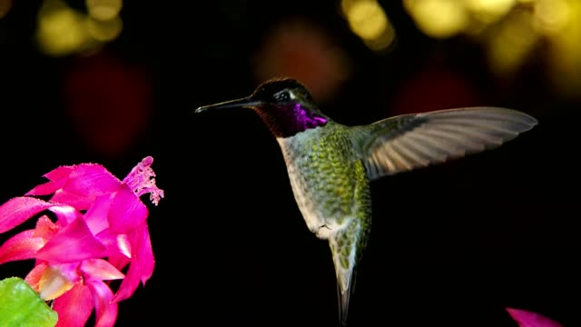 A motion timelapse footage of hummingbird with beautiful feather colors visiting pink flower video