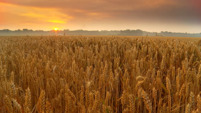 hd motion time-lapse: sunrise cloudscape over wheat field - saman stok videoları ve detay görüntü çekimi