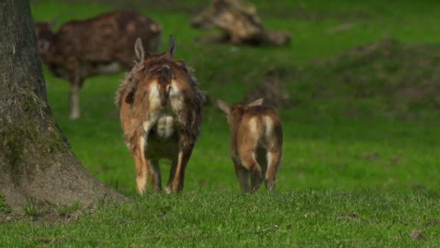 mouflon video
