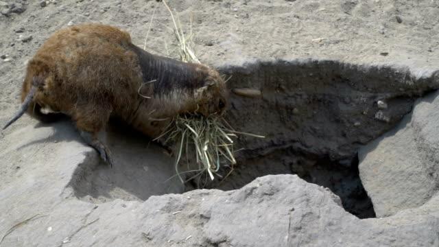 Ein Mauser Gopher zieht den Rasen in seine Zähne und springt in das Loch – Video