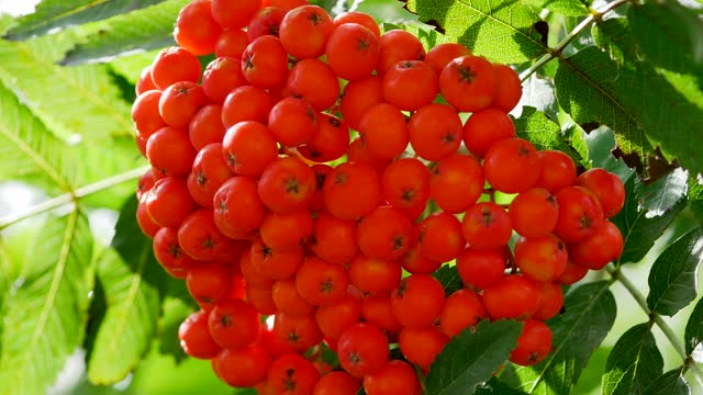 mountain ash, rowanberry, (Sorbus aucuparia)