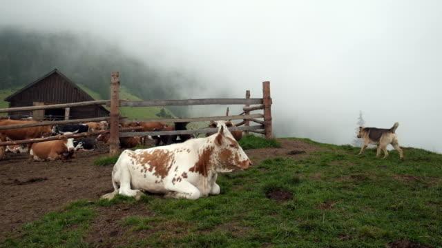 Mountain cattle farm