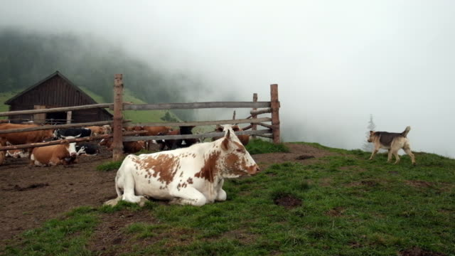 Mountain cattle farm A cow resting over the fence on a grass near Mountain cattle farm a foggy. paddock stock videos & royalty-free footage