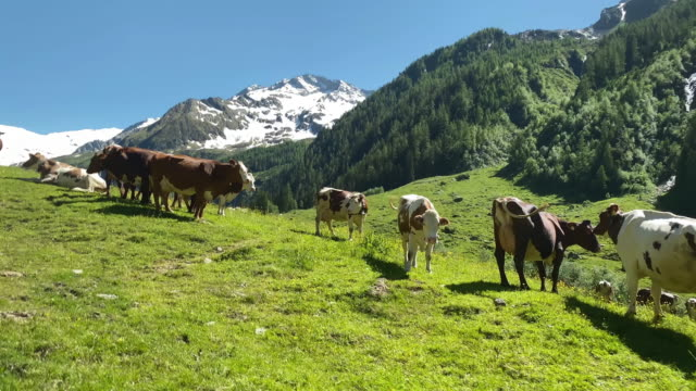 Mountain Cow European Alps video 4k with stabilization: mountain dairy cows grazing on the meadow pasture stock videos & royalty-free footage