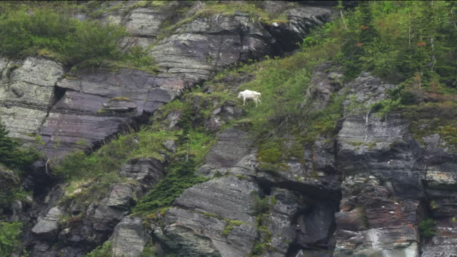 mountain goat grazing on mt grinnell in glacier national park video