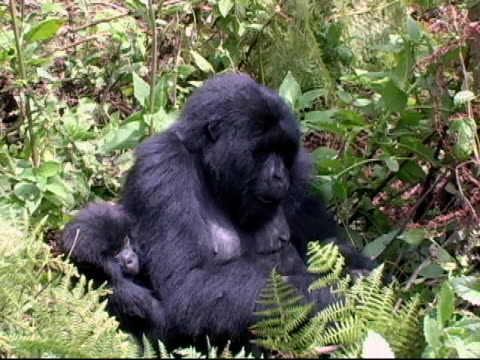 Mountain Gorilla mother and infant  in forest glade video