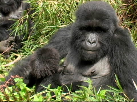 stockvideo's en b-roll-footage met mountain gorilla mother and infant in forest glade - gorilla