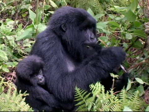stockvideo's en b-roll-footage met mountain gorilla mother and infant sitting in forest glade - gorilla