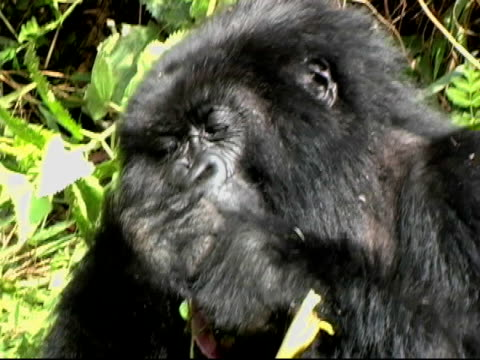 Mountain Gorilla pulls up greenery and eats video