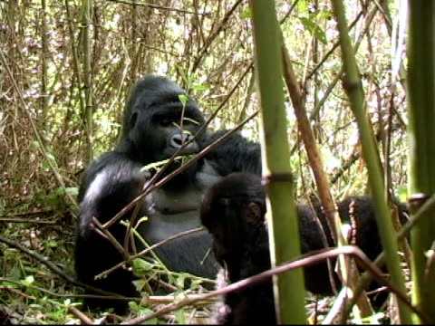 Mountain gorilla silverback eats while youngster plays video