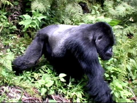 stockvideo's en b-roll-footage met mountain gorilla silverback walks down path in rainforest - gorilla