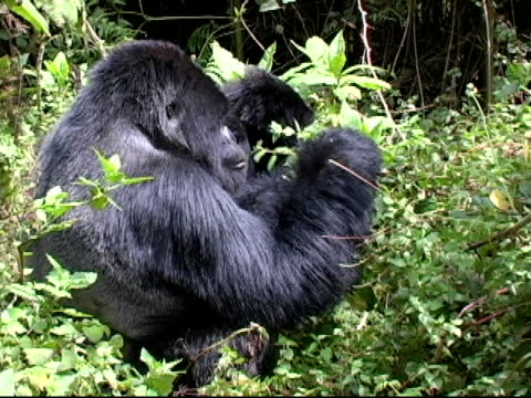mountain gorilla streifen verleiht der vines and eats - pflanzenbestandteile stock-videos und b-roll-filmmaterial