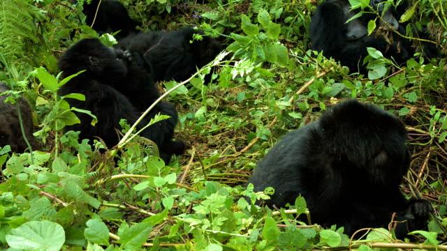 Gorilas de montanha, Parque Nacional dos vulcões, no Ruanda - vídeo