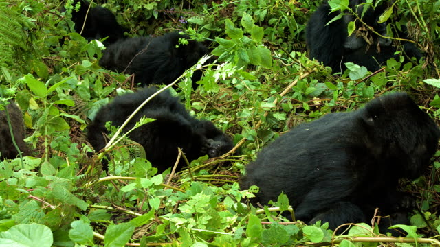 Mountain gorillas, Volcanoes National Park, Rwanda video