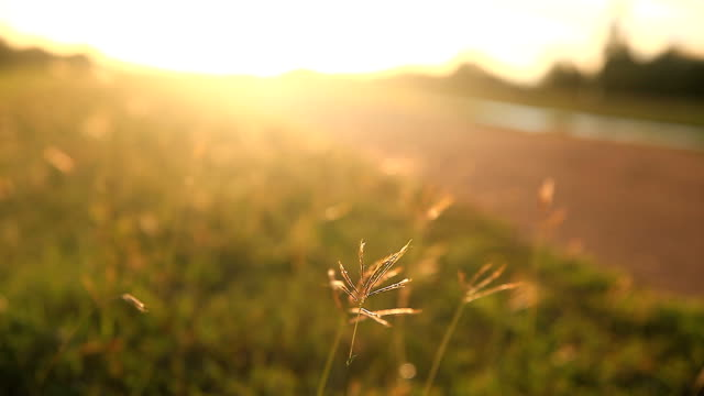 Mountain grass flowers sunset on the wind. - vídeo