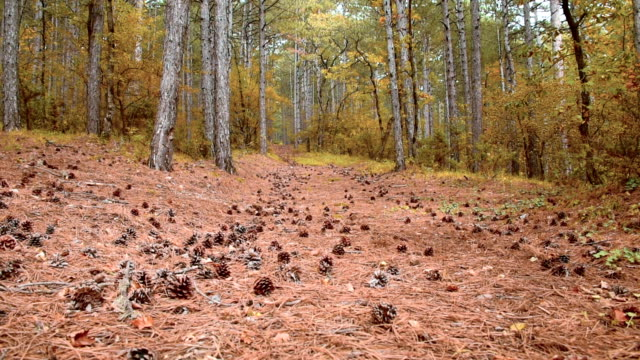Mountain pine forest in early autumn video
