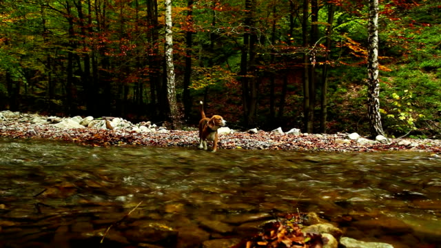 Mountain river in the autumn with Hunter beagle dog HD footage video