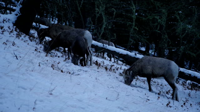 Mountain sheep grazing in the early morning video