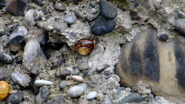 Mountain snail creeps on a stone wall.