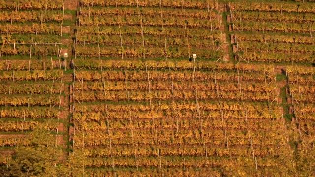 Mountain viticulture, weinterrassen, wine terraces, Steilagen, vineyard on the river Main, autumn, Klingenberg, Mainfranken, Spessart, Bayern, 4K video