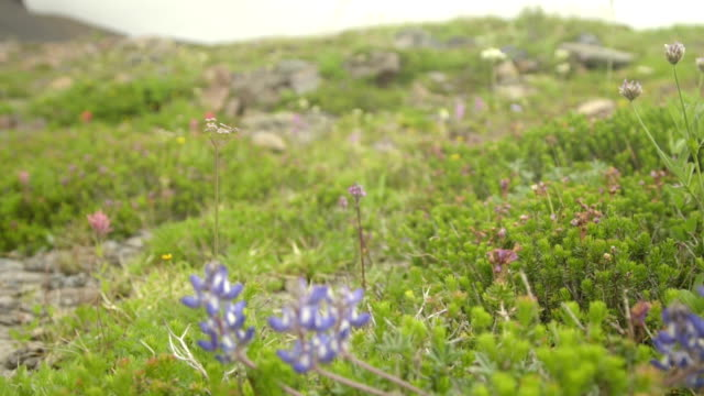Mountain wild flowers video