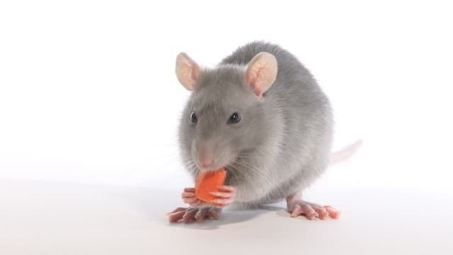 mouse and carrot video